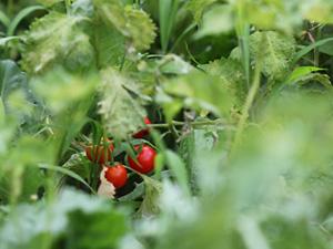 屋上菜園に実ったミニトマト