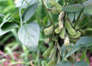 屋上菜園に実った枝豆
